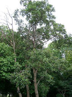 250px-Alnus_japonica3